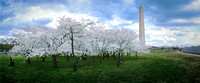 Cherry Blossom Trees by Washington Monument
