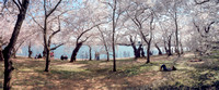 DC Cherry Blossoms. Tidal Basin.